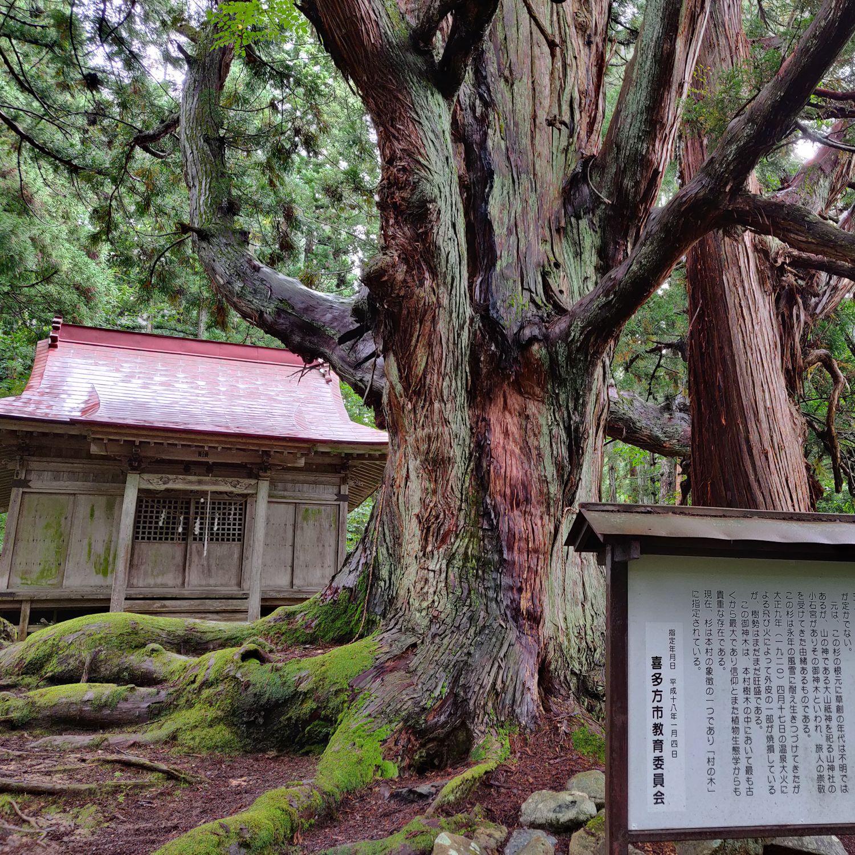 温泉神社の大杉